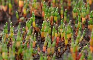 Salicornes qui poussent sur la Côte d'Opale